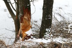 Tree gnawed by beavers at a frozen lake in winter Royalty Free Stock Photos