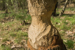 Tree gnawed beavers Royalty Free Stock Photo