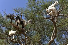 Tree Goats in Morocco royalty free stock photography