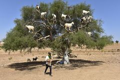 Tree Goats in Morocco with Goatherd. The cloven-hoofed goats in South-West of Morocco are climbing the argan trees to eat their nuts royalty free stock photo