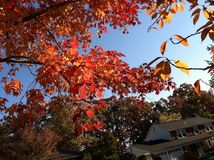A neighborhood tree in the Fall stock photography