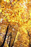 Tree with golden autumn leaves. Stock Image