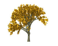 Tree. Golden autumn tree  on white background 3d rendering Royalty Free Stock Photography