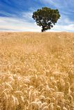 Tree on Golden Field. Quiet view over a golden field of farmland with a lonely tree and beautiful sky Royalty Free Stock Photo