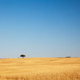 Tree in Golden Field. Lonely tree on a golden field with clear blue sky. Alentejo, Portugal stock photography