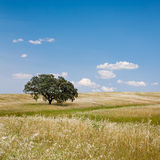Tree in Golden Field. Lonely tree on cultivated farm field with blue sky. Alentejo, Portugal royalty free stock image