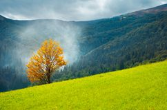 Tree with golden foliage on grassy hillside. In smoke. beautiful autumn scenery in mountains royalty free stock images