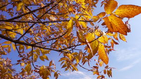 Tree with golden leaves against blue sky, slow motion. Autumn tree with golden leaves against blue sky, slow motion stock video footage