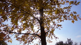 Tree with golden leaves against sun and blue sky, slow motion. Autumn tree with golden leaves against sun and blue sky, slow motion stock video footage