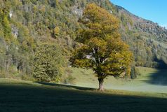 Tree with Golden Leaves in an Alpine Autumn Landscape royalty free stock image