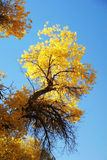 Tree with golden leaves and blue sky Royalty Free Stock Image