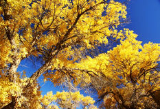 Tree with golden leaves and blue sky Stock Photo