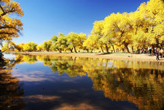 Tree with golden leaves by river Stock Image