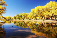 Tree with golden leaves by river Stock Photography