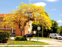 Tree, golden tabebuia in full bloom Royalty Free Stock Photography