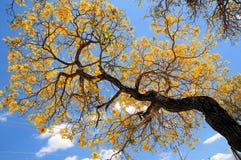 Tree, golden tabebuia in full bloom, Florida Stock Photos