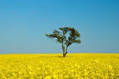 Tree in a golden wheat field Stock Photos