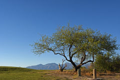 Tree at the golf course. At the sunset, with mountains in the background Stock Photography