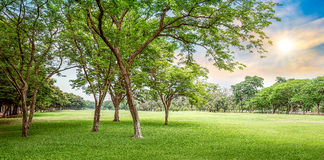 Tree in golf course Stock Image