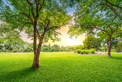 Tree in golf course Royalty Free Stock Photos