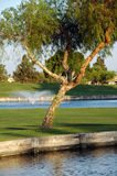 Tree on golf court Royalty Free Stock Images