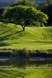 Tree in Golf Field. Near lake Royalty Free Stock Image