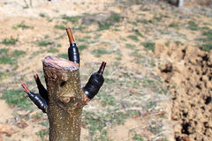 Tree grafting. Fruit tree engrafted in spring Stock Photos