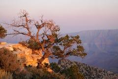 Tree at Grand Canyon Royalty Free Stock Photo