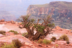 Tree in the grand canyon Royalty Free Stock Images