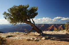 Tree at the Grand Canyon. A single tree before the Grand Canyon in Arizona, USA Stock Photo