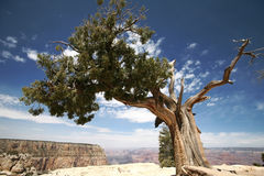 Tree in Grand Canyon, Arizona Stock Photos