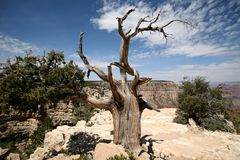Tree in the Grand Canyon, Arizona, USA Stock Image