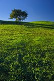 Tree on Grassland. With deep blue sky Stock Images