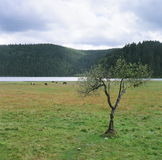 The tree of the grasslands. One tree stand on the grasslands.There are some horses and lake in the distance Royalty Free Stock Photography
