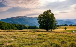 Tree on the grassy alpine meadow of Carpathians. Beautiful mountain landscape with beech forests on hille in summer Stock Photos