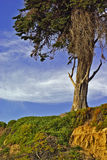 Tree on Grassy Hillside. A tree atop a grassy, windswept hillside set against a blue sky Stock Images