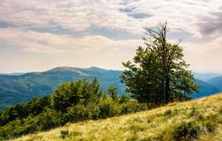 Tree on the grassy hillside on a cloudy day. Lovely summer landscape of Carpathian mountain Svydovets ridge Stock Photography