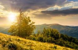 Tree on the grassy hillside on at sunset. Lovely summer landscape of Carpathian mountain Svydovets ridge stock photo