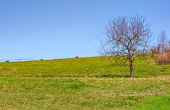 Tree on the grassy hillside. Springtime in rural area Royalty Free Stock Image