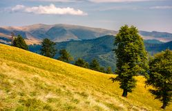 Tree on the grassy hillside. Svydovets mountain ridge in the distance. beautiful summer nature scenery of Carpathian mountains, Ukraine Royalty Free Stock Image