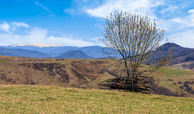 Tree on the grassy meadow in mountains. With snowy peaks in early spring Royalty Free Stock Image