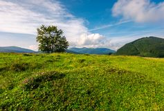 Tree on the grassy meadow in mountains. Beautiful scenery in early autumn. wonderful forenoon weather Royalty Free Stock Image