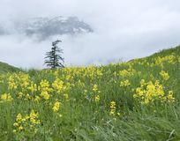 Tree and grassy mountain meadow with yellow flowers in the french alps with background of clouds and mist on rainy summer day Royalty Free Stock Image