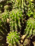Tree green cactus sunbathed Royalty Free Stock Photos