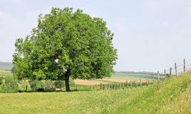 Tree in green countryside Stock Image