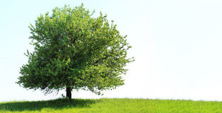Tree on green field Royalty Free Stock Photo
