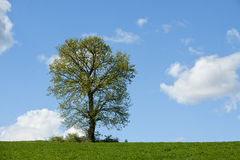 Tree in green field . Royalty Free Stock Photos