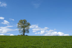 Tree in green field . Stock Photo