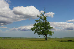 Tree on green field Royalty Free Stock Photography