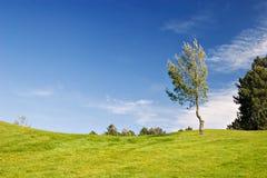 Tree in green field. Tree in golf field with deep blue sky Stock Photo
